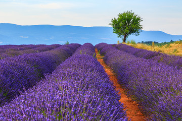 Panel Szklany Wiejski Lavender field summer landscape near Sault