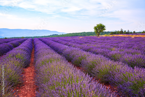 Tuinposter Lavendel Lavender field summer landscape near Sault