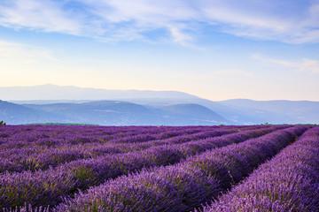 Fototapeta Wiejski Lavender field summer landscape near Sault