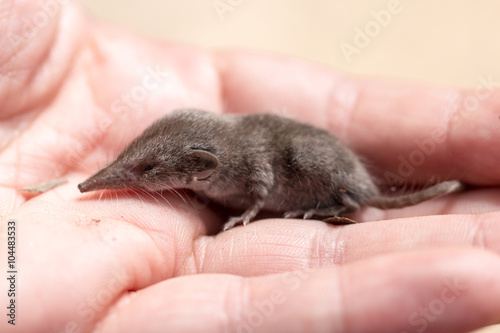 Fotografie, Obraz  shrew mouse