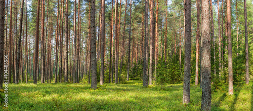 Fototapeten Wald Panoramic view of fir forest on a summer day