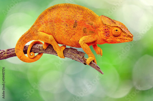 Keuken foto achterwand Kameleon caméléon sur branche sèche