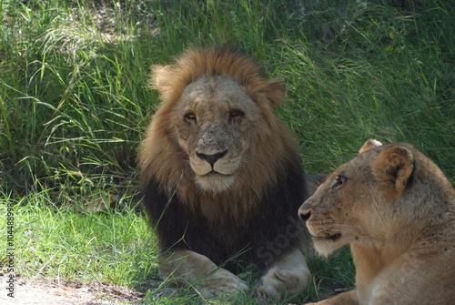 Fotografie, Obraz  leoni maschio e femmina