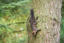 Squirrel On A Tree In The Forest . Ukraine. Autumn.