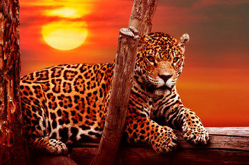 Fototapeta na wymiar Jaguar sitting on a tree, sunset