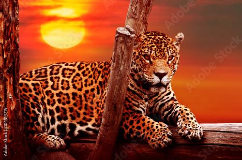 Obrazy na płótnie Canvas Jaguar sitting on a tree, sunset