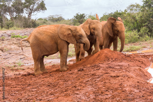 Foto op Aluminium Olifant Three baby elephants play each other on red clay heap with bushes in background. Sheldrick Elephant Orphanage in Nairobi, Kenya.