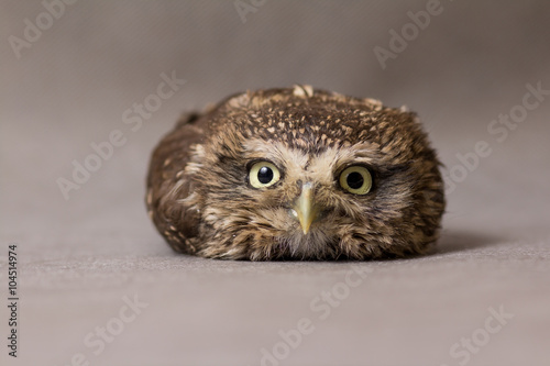 La pose en embrasure Chouette Beautiful domestication owl, wild owl, night owl