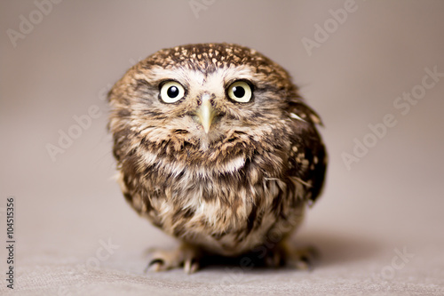 Photo  Beautiful domestication owl, wild owl, night owl