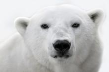 Portrait Of A White Polar Bear.