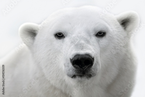 La pose en embrasure Ours Blanc Portrait of a white polar bear.