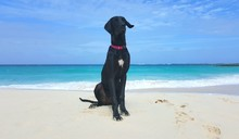 Great Dane On The Beach