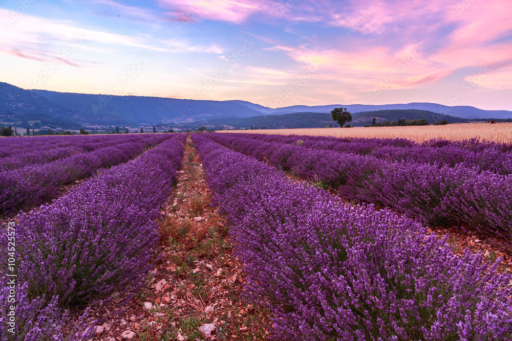 Fototapeta Beautiful landscape of lavender fields at sunset near Sault - obraz na płótnie