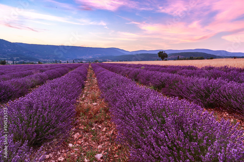 Printed kitchen splashbacks Cappuccino Beautiful landscape of lavender fields at sunset near Sault