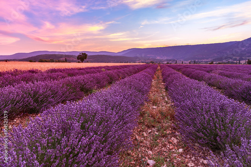 Fototapeta Beautiful landscape of lavender fields at sunset near Sault obraz na płótnie
