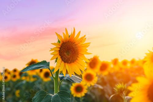 Fotobehang Zonnebloem Sunflower field
