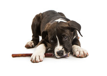 Cute Puppy Chewing On Bully Stick