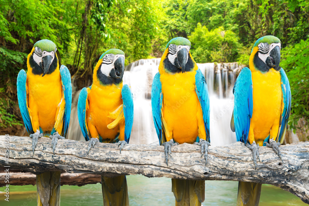Blue-and-Gold Macaw against tropical waterfall background