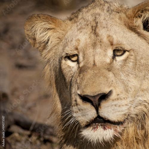 Fotobehang Leeuw lion (Panthera leo) del Timbavati Nature Reserve in Sud Africa