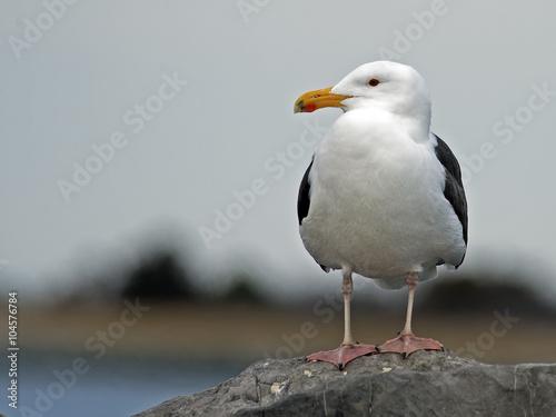Αφίσα  Great Black-backed Gull on Jetty