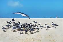 Several Laughing Gulls On The ...
