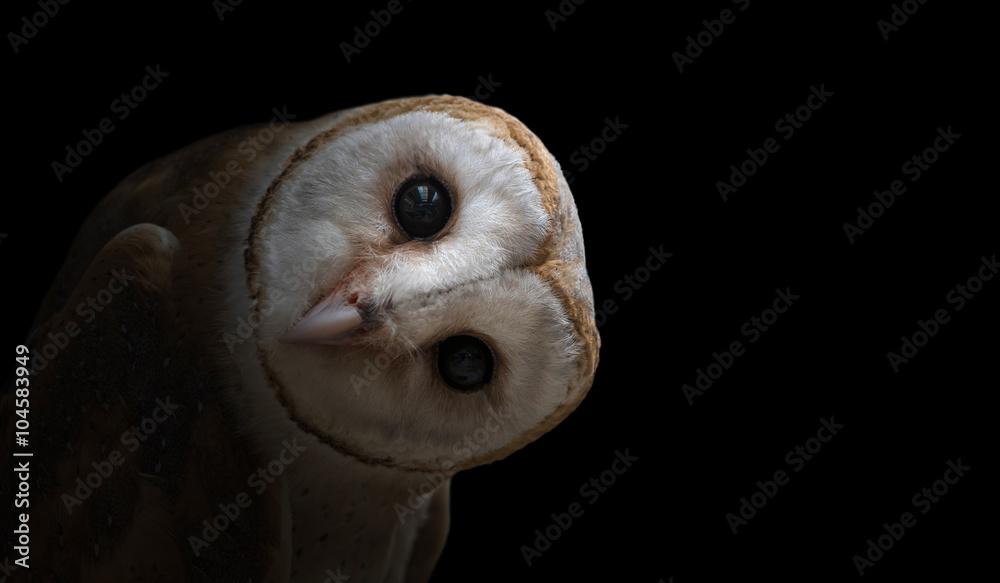 Fototapety, obrazy: common barn owl ( Tyto albahead ) close up
