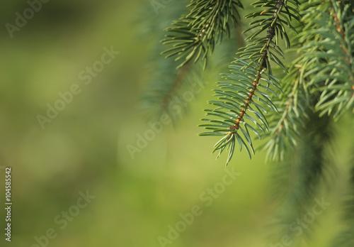 Fotografie, Obraz  Pine tree