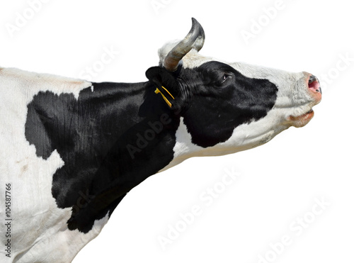 Photo Stands Cow Сow isolated on white/Funny cow isolated on white