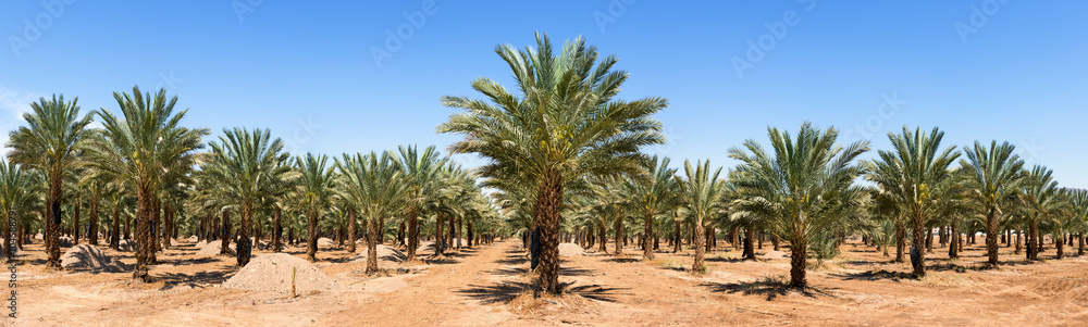 Fototapety, obrazy: Panoramic view on plantation of date palms