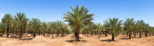 Panoramic View On Plantation Of Date Palms,  Desert Agriculture Of The Middle East