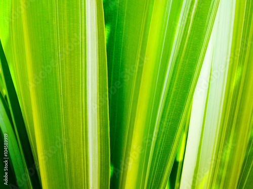 leaf of Dracaena fragrans Canvas-taulu
