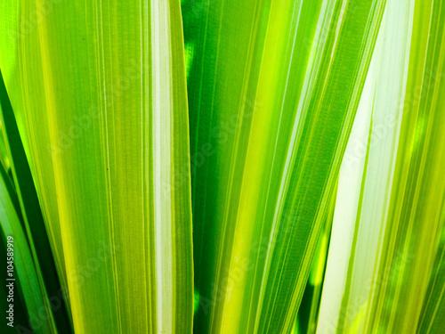 Obraz na plátne leaf of Dracaena fragrans