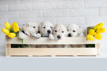 Four Golden Retriever Puppies In A Box