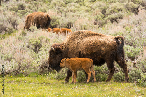Tuinposter Bison Bison with Calf in Yellowstone National Park