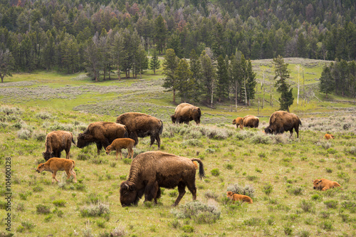 Photo Stands Bison Herd of Bison with Calves in Yellowstone National Park
