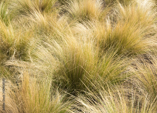 Photo  Mexican Feather Grass in the Sunlight