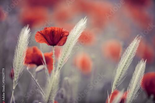 Plakat Mak kukurydziany na wiosnę