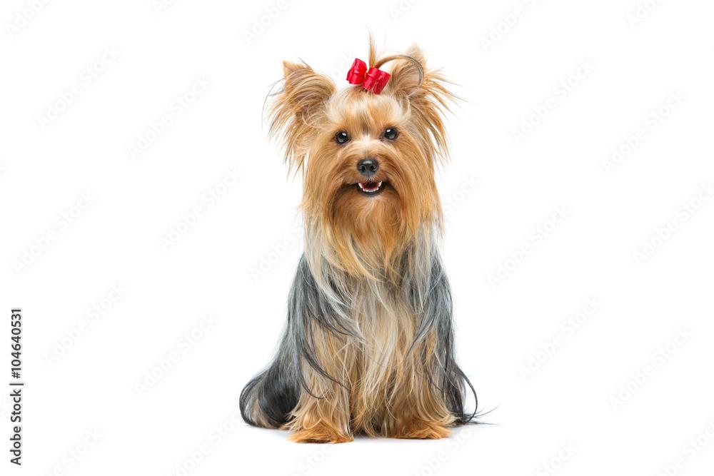 Fototapety, obrazy: Beautiful yorkshire terrier sitting