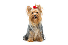 Beautiful Yorkshire Terrier Si...