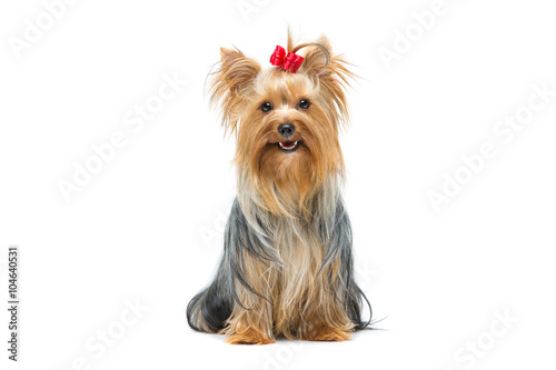 Fotografie, Obraz Beautiful yorkshire terrier sitting