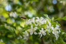 Bee & Murraya Exotica Flowers