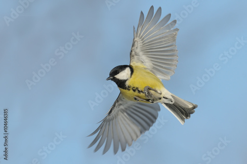 Flying Great tit against blue sky background Canvas Print
