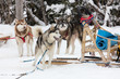 Chien d'attelage pour traineau dans le grand nord Canadien