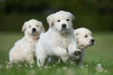 Three Cute Golden Retriever Puppies