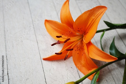 Orange Asiatic lily flower bloom with anthers and pollen