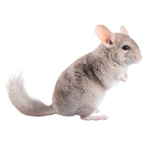 Beige Chinchilla Isolated On W...