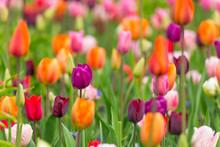 Beautiful Colorful Tulips, Close-up.