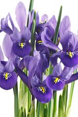 Plakat fiori di iris su sfondo bianco