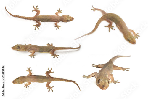 Photographie  House gecko or Half-toed gecko or House lizard  isolate on white background