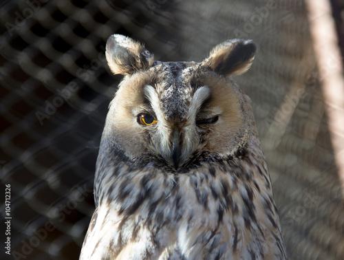 A long-eared owl (Asio otus) Canvas Print